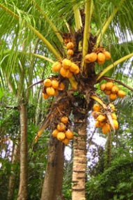 tree coconut2