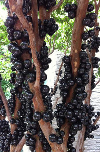 tree Jabuticaba2