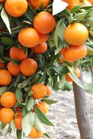tree orange2